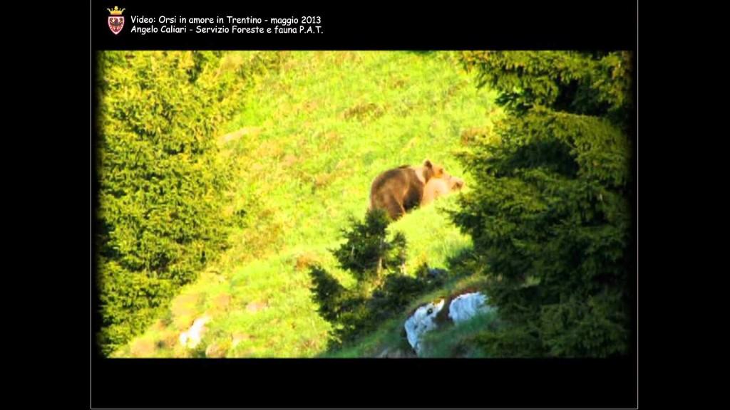 Orsi ripresi durante la stagione degli amori nel Brenta meridionale. VIDEO
