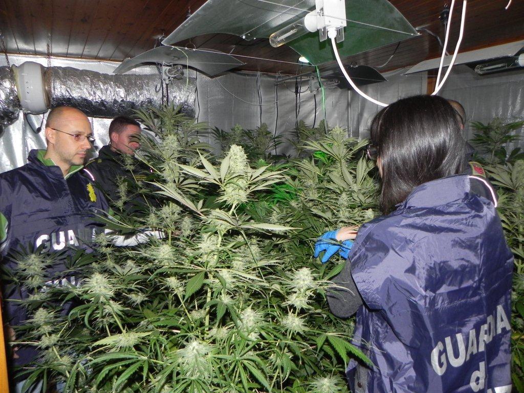 cannabis coltivazione serra trentino