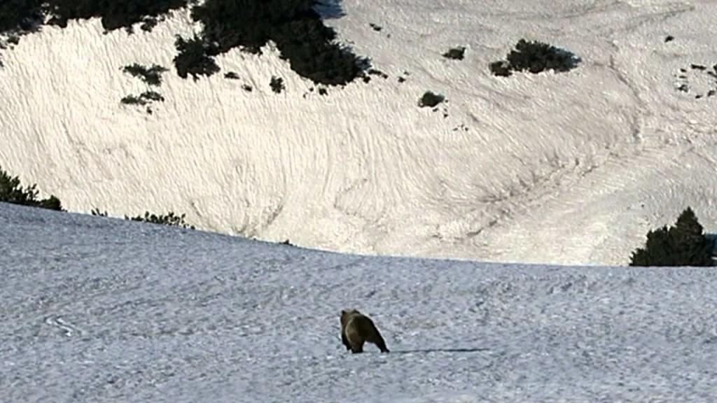 L'orso è tornato in Trentino: alla Croce del Telegrafo a pochi metri da un escursionista. VIDEO