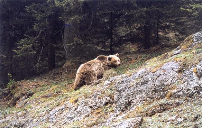 Daniza 1 - orsa