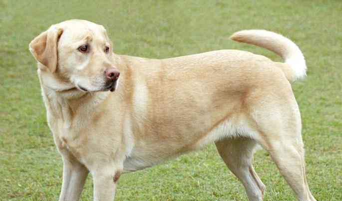 Labrador1