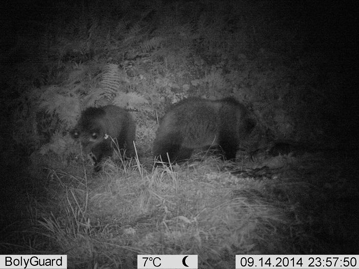 coppia orsetti daniza 1