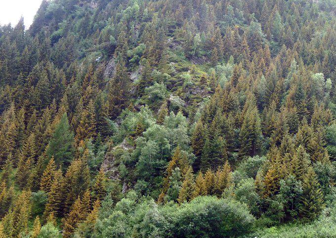 abeti gialli Trento e Ponte di Legno1