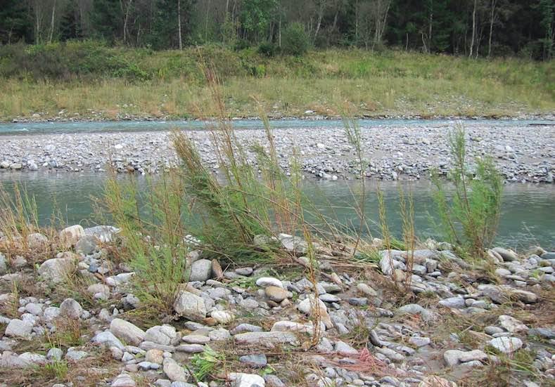 Tamariske fiume alto adige bolzano