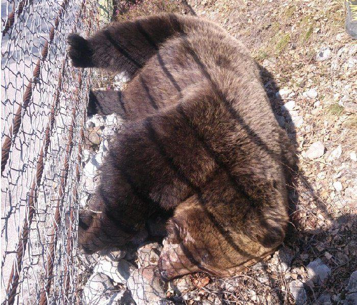 orso morto Val di Non 1