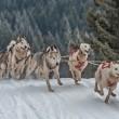 win-inverno-sleddog-millegrobbe-massimo-mazzasogni