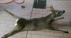 capriolo-caccia