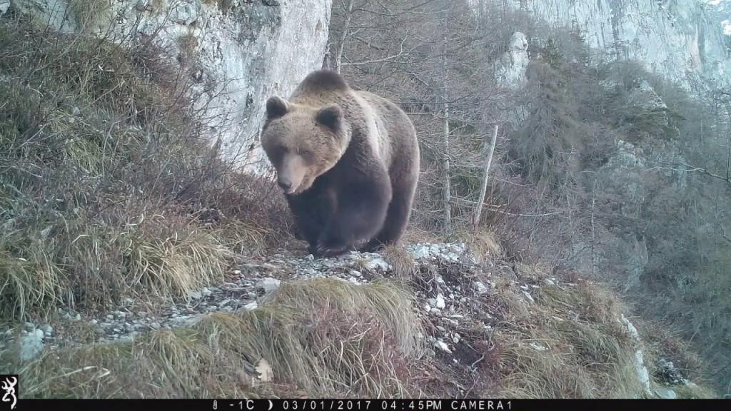 Orsi, lupi e orme di lince: nuovi avvistamenti della Forestale in Trentino. VIDEO