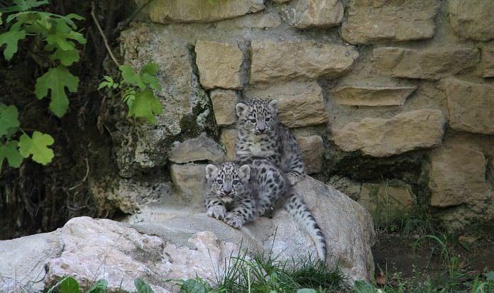 Leopardi delle nevi 10