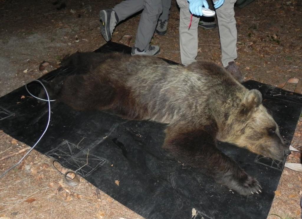 orsa catturata