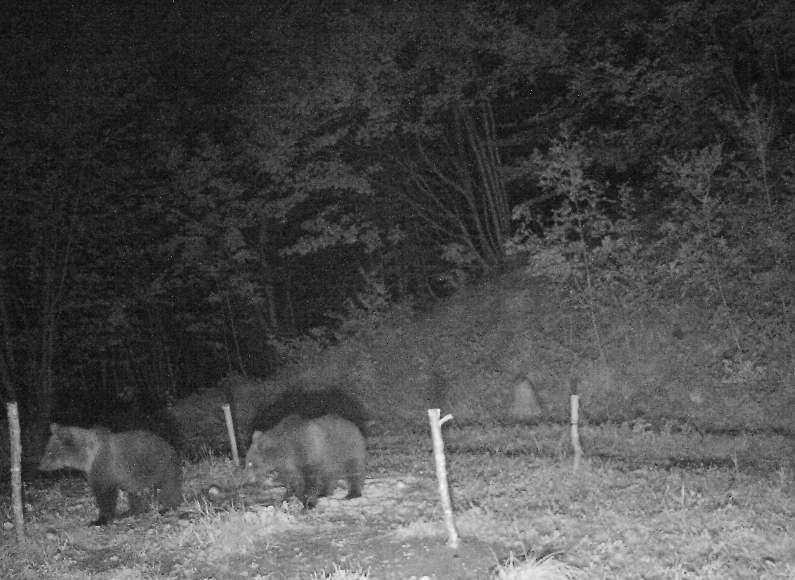 cuccioli orso agosto 17