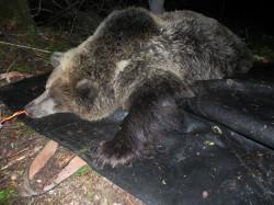 orso radiocollarato