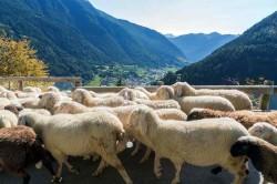 rientro pecore.foto Nitida Immagine
