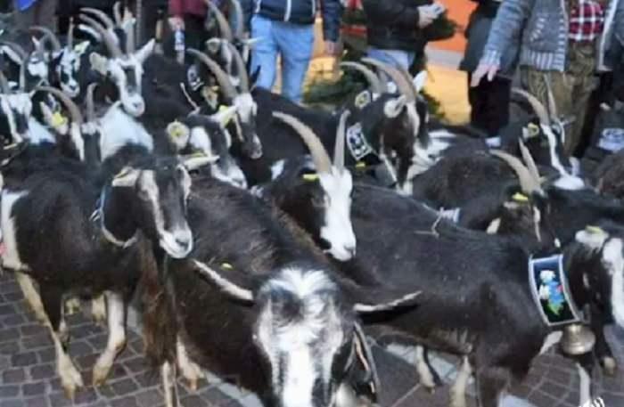 Pergine capre 1