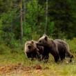 Orso credit Frapporti-Servizio-Foreste-e-fauna-PAT