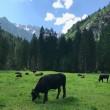 mucche parco adamello brenta val genova pascoli natura
