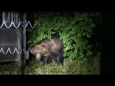 Orso M49 a spasso in Trentino, prosegue il monitoraggio