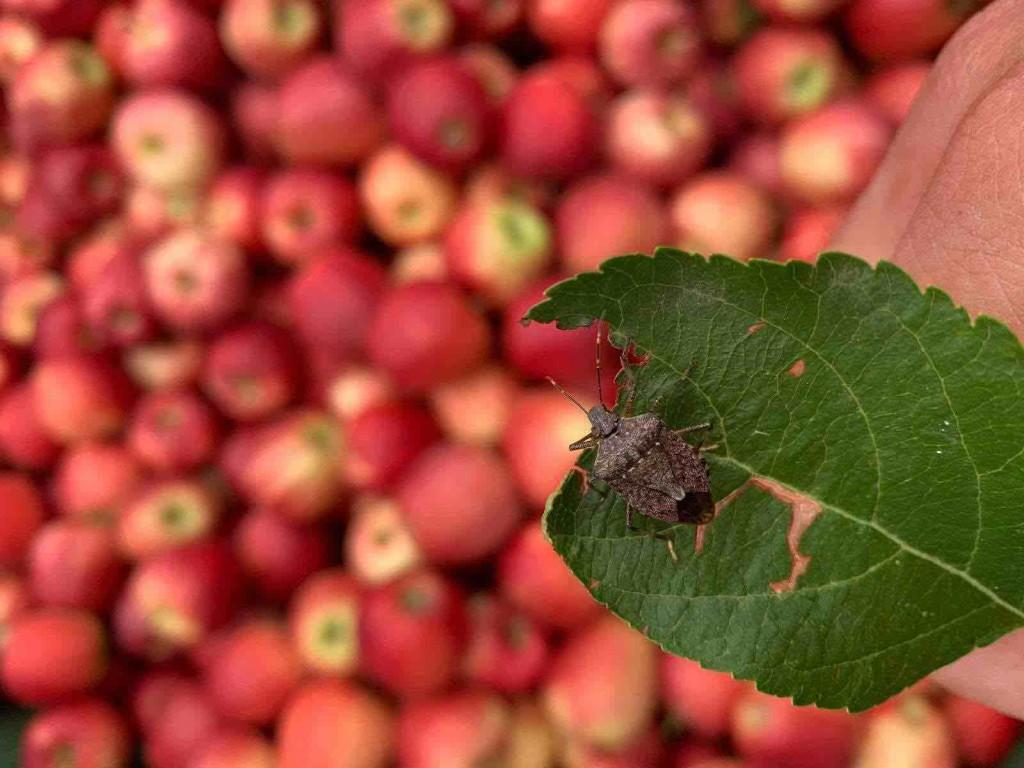 cimice su mele