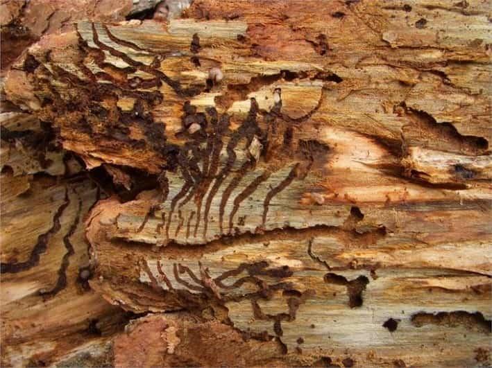 Bostrico abete rosso - foto credit ASP Ripartizione foreste