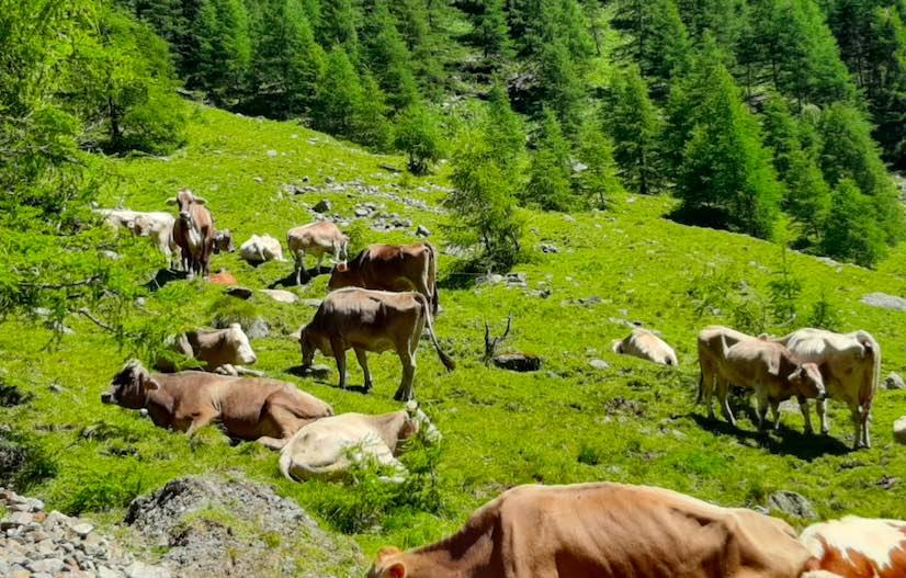 alpeggio agricoltura mucche