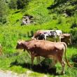 alpeggio mucche