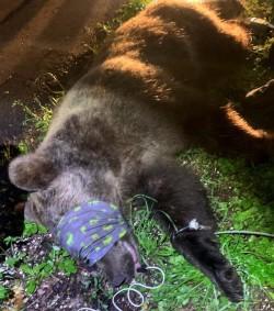 orso catturato